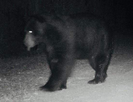 Bear September 2018.jpg